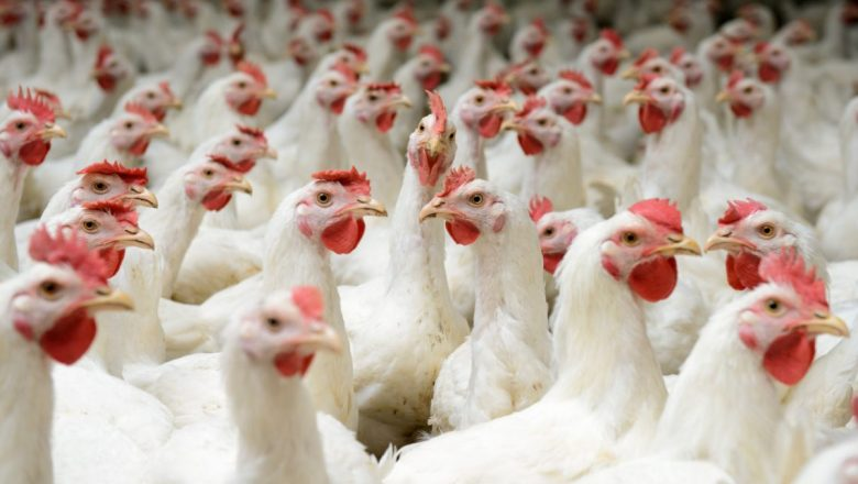 Crisis And The Survival Of The  Nigeria Poultry Industry